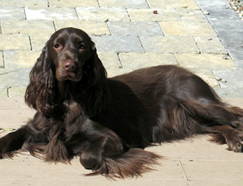 Judging the Field Spaniel