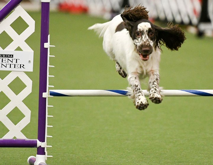Bar Jump in Agility