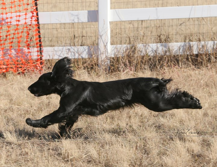 Black Field Spaniel running