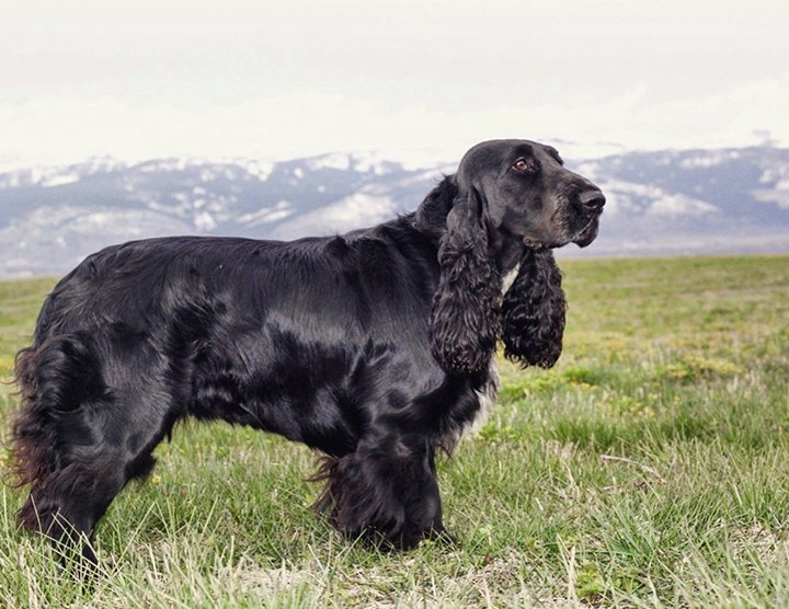Black Field Spaniel with the mountains in the background
