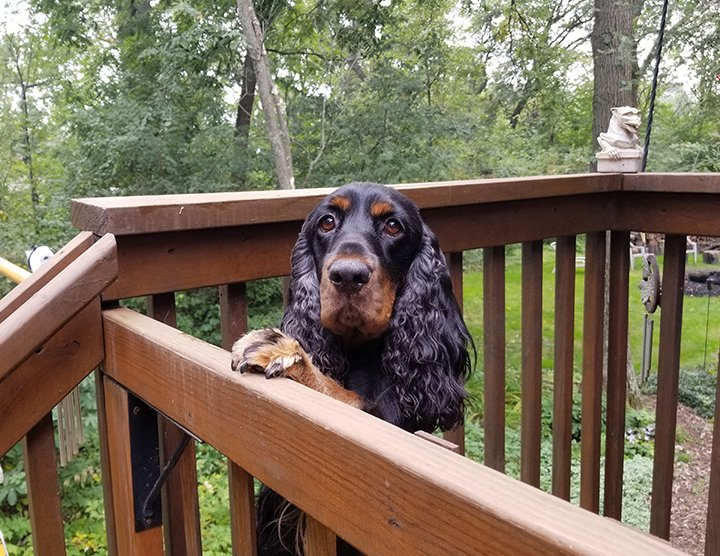 Black and tan Field Spaniel with his feet up on the deck railing