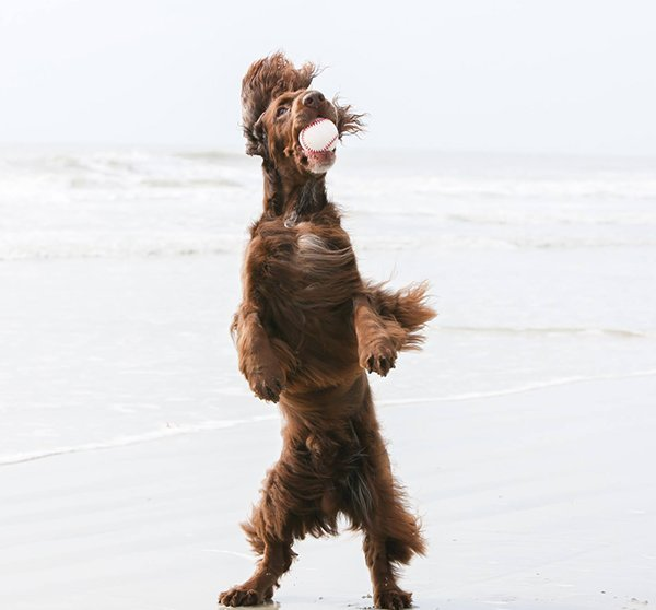 Example of Field Spaniel catching a ball on the beach.