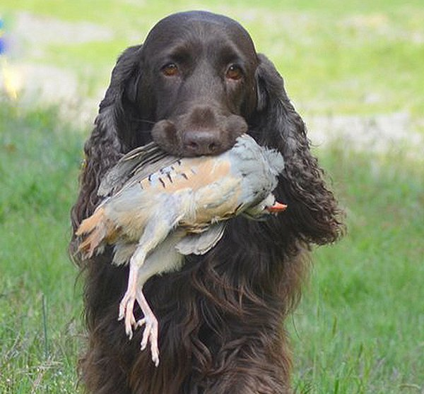 Example of Field Spaniel retrieving a bird.