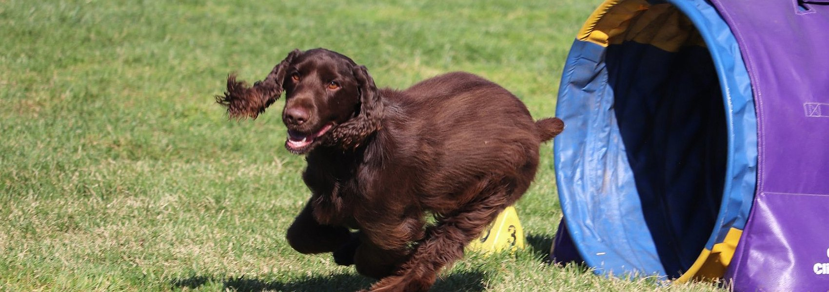 Field Spaniel competing in agility