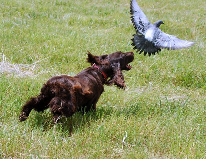 Field Spaniel flushing a bird