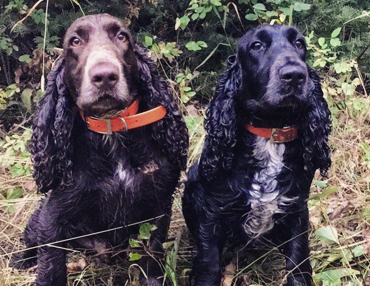 Field Spaniel having a day in the woods