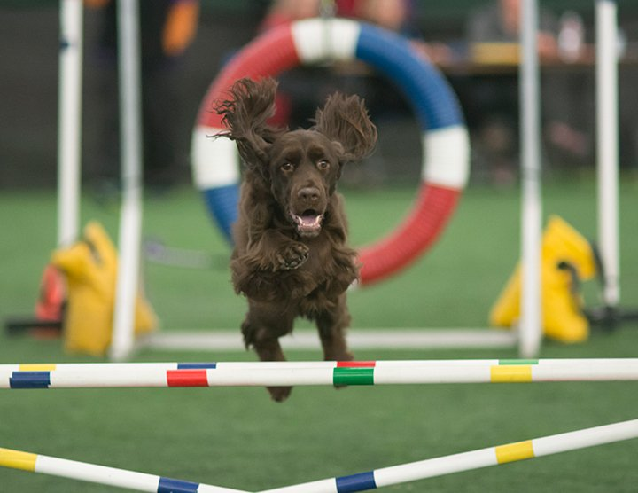 Field Spaniel jumping the agility ring