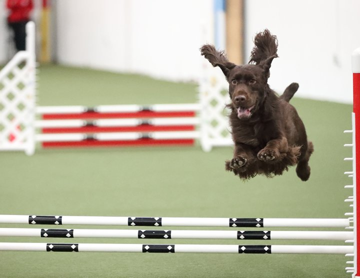 Field Spaniel jumping the jump in agility