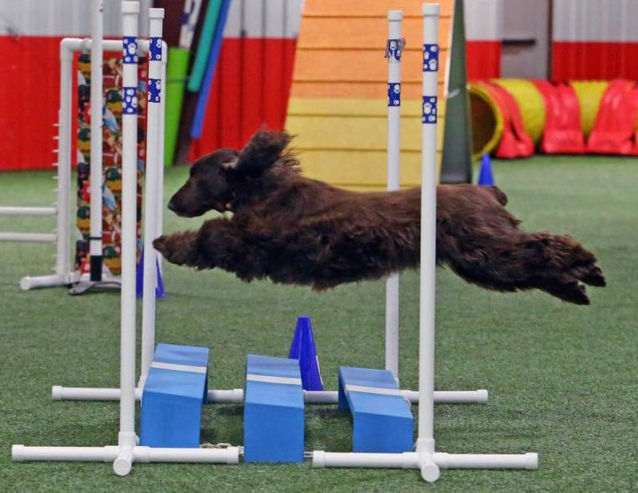 Field Spaniel jumping the obedience jump
