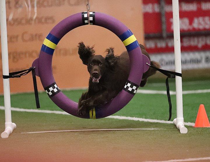 Field Spaniel jumping thru the agiity ring