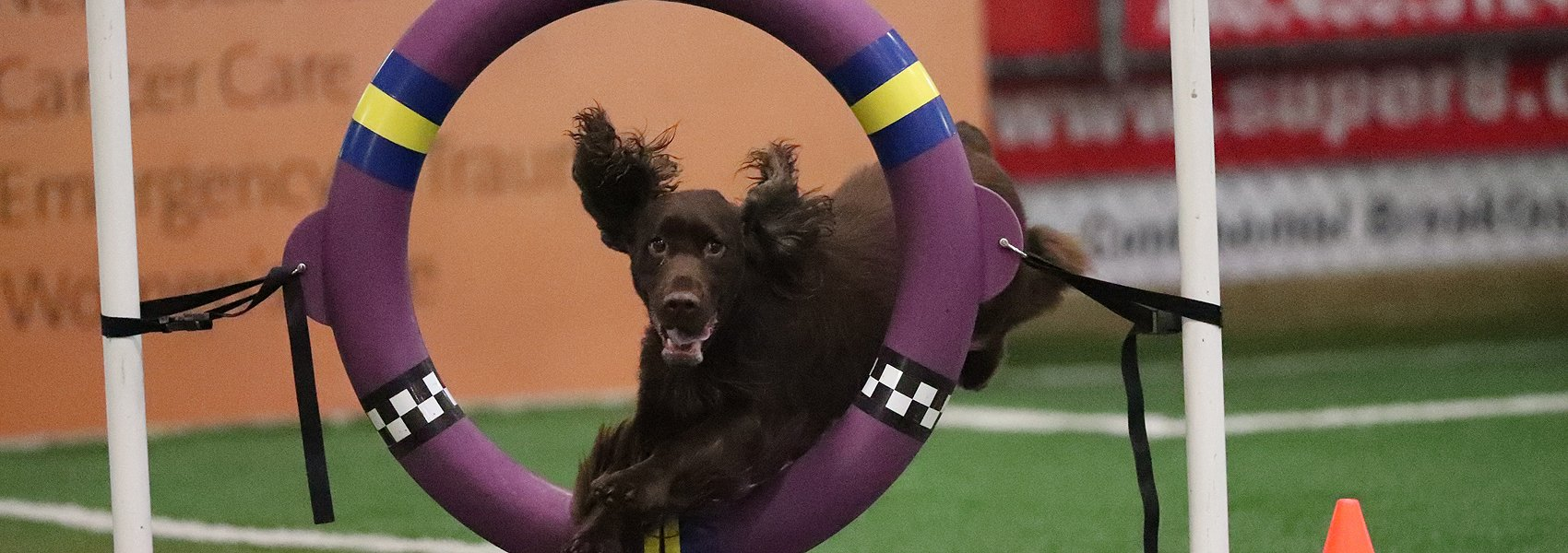 Field Spaniel jumping thru the ring in agility