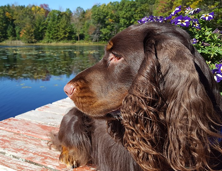 Field Spaniel laying on the deck looking over the water