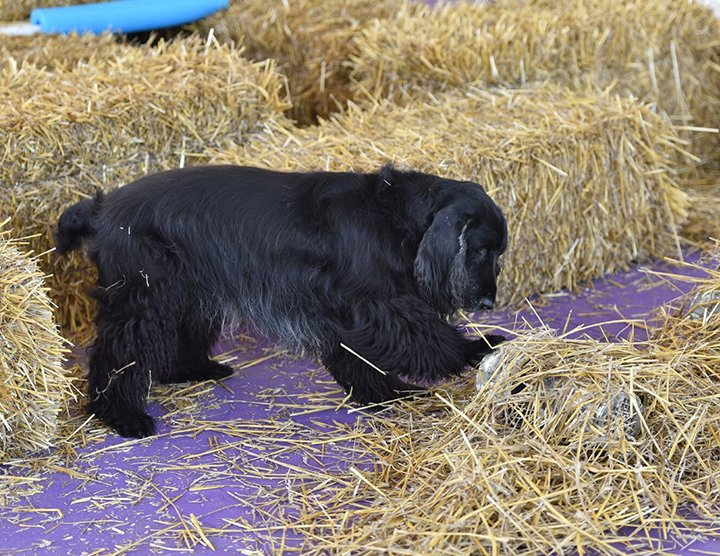 Field Spaniel participating in Barn Hunt