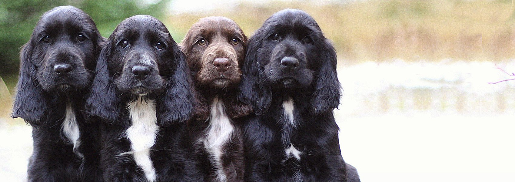 Field-Spaniel-puppies2