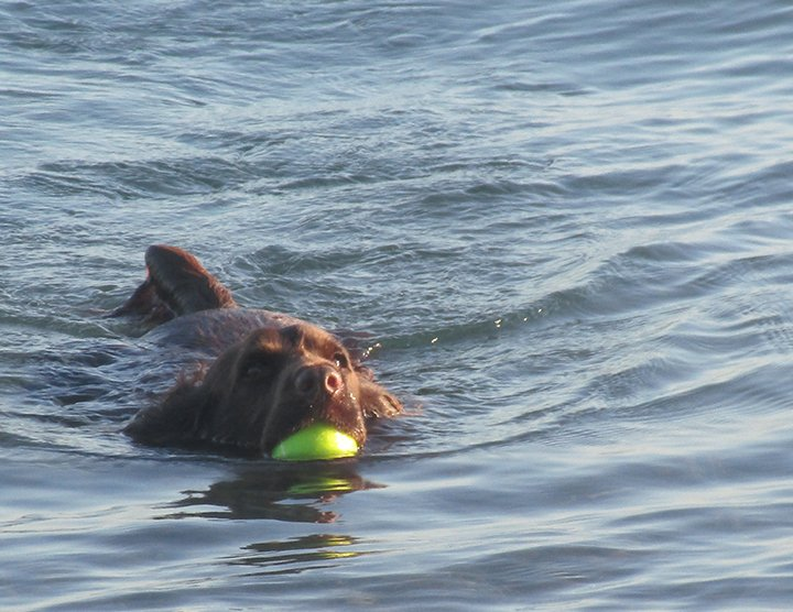 Field Spaniel retrieving a ball in the pond