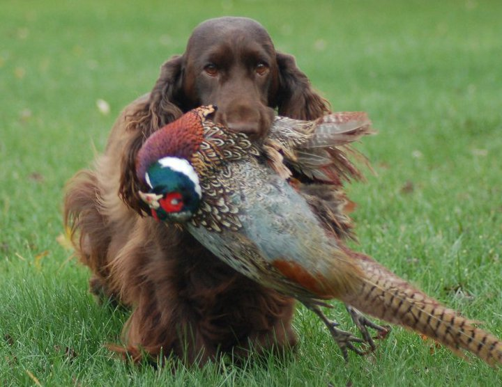 Field Spaniel retrieving bird from the field