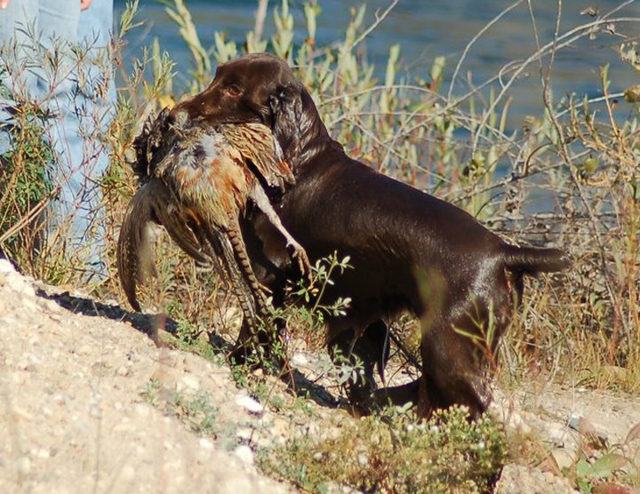 Field Spaniel retrieving bird from the water