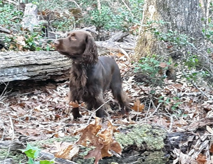 Field Spaniel standing in the woods