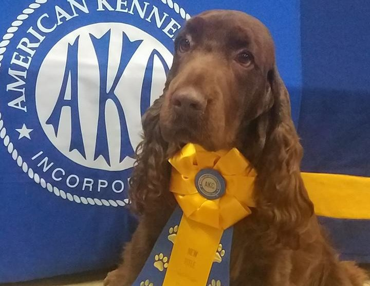 Field Spaniel wearing new title ribbon.