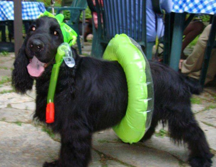 Field Spaniel with his water gear on.