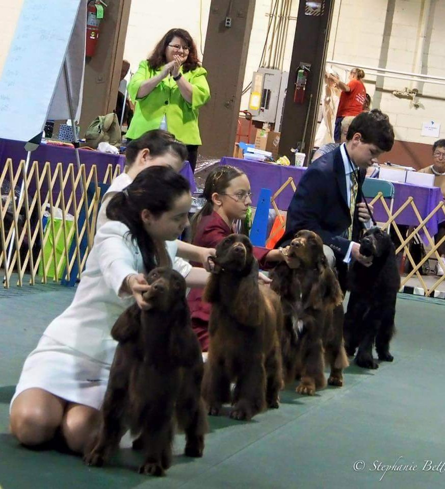 Juniors in the ring showing their Field Spaniels