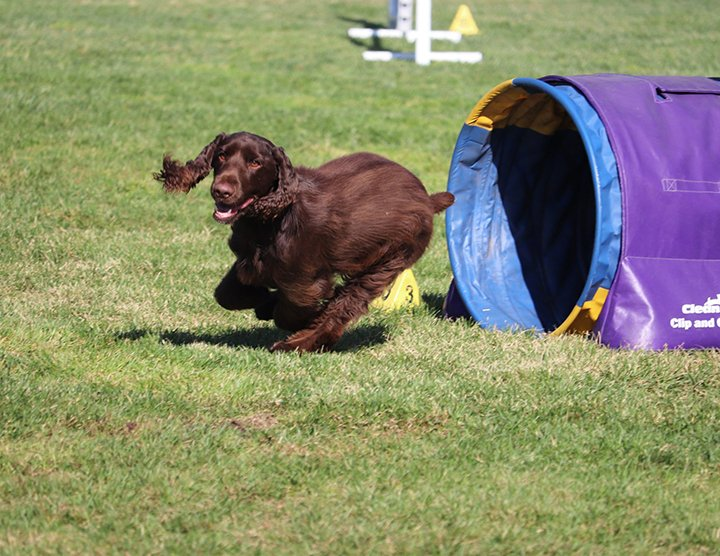 Liver colored Field Spaniel going through the agility tunnel