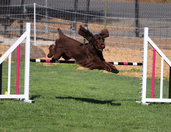 Liver colored Field Spaniel jumping the agility high jump