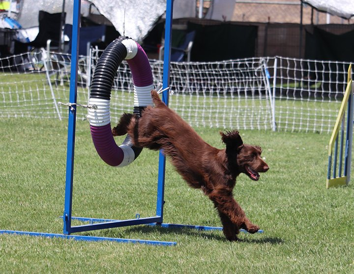 Liver colored Field Spaniel jumping through the agility ring