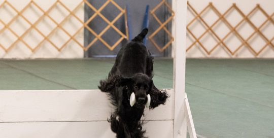 Retrieving the dumb bell in obedience
