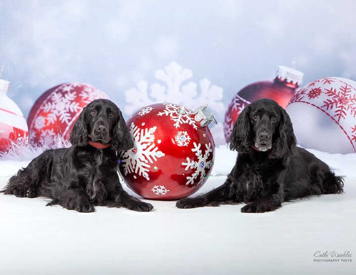 Two Black Field Spaniels at Christmas
