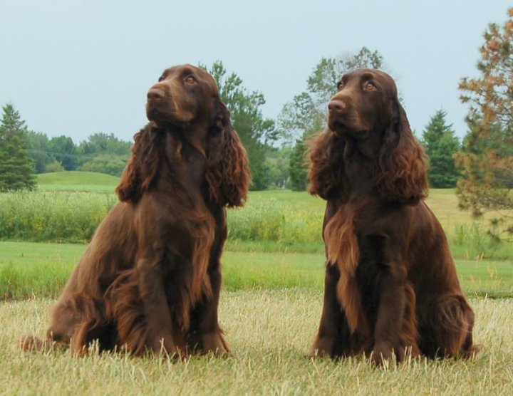 Two beautiful liver colored Field spaniels